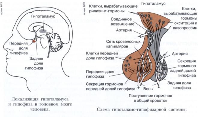 какие гормоны вырабатывает головной мозг Управление процессом