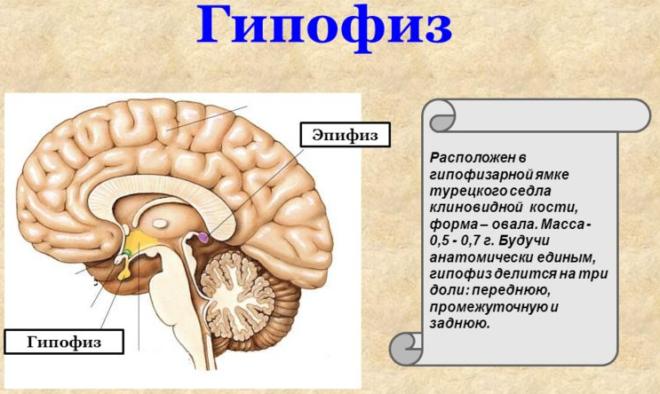 Внутренняя секреция гипофиза