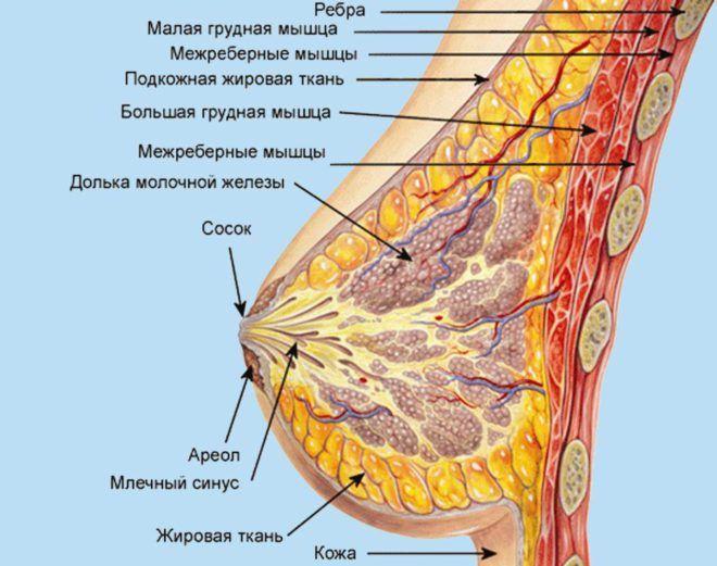 Схема строения молочной железы