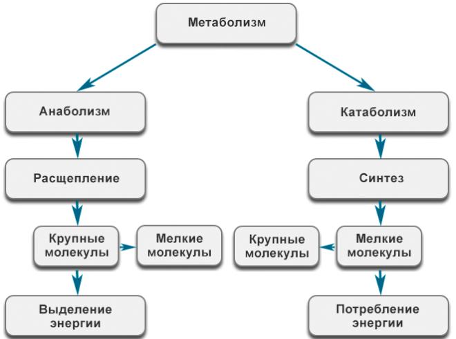 Cхема метаболических процессов