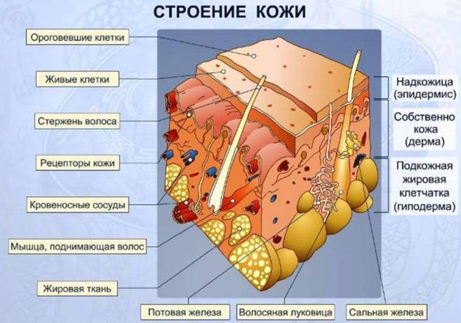 Эстроген и эпидермис