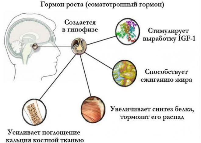 Функции гормона соматотропин