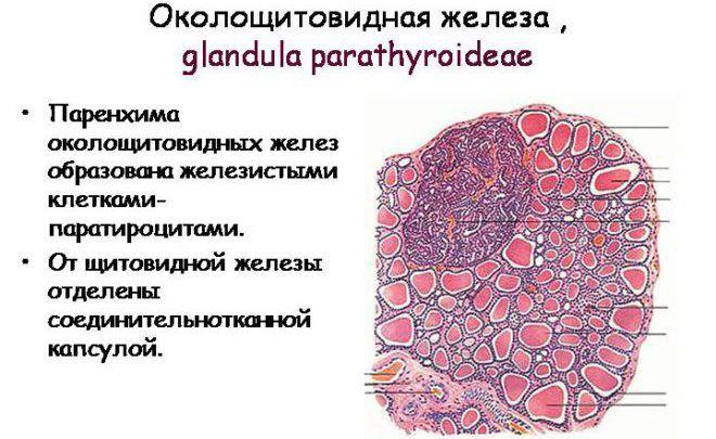 Околощитовидная железа