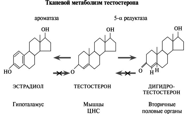 Роль тестостерона