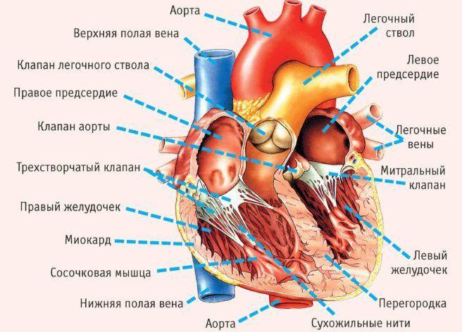 Пролапс митрального клапана дополнительная хорда левого желудочка