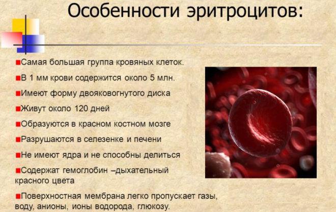 Синтез эритроцитов в крови