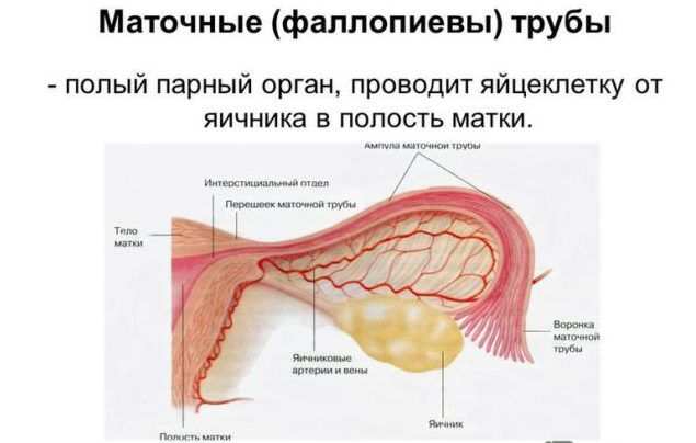 Строение фаллопиевых труб