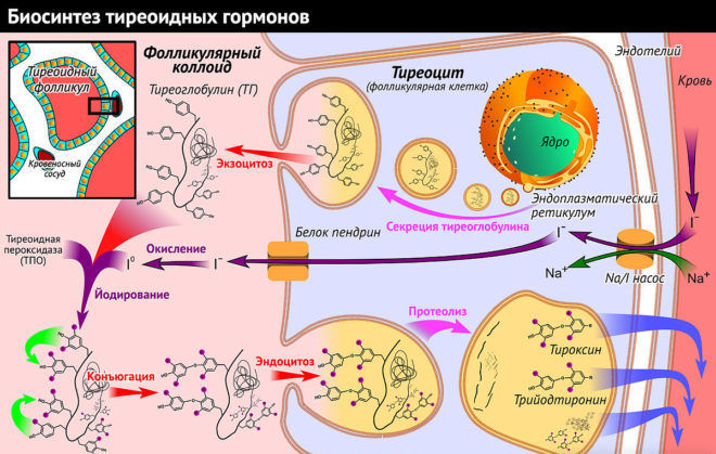 Тиреоидные гормоны