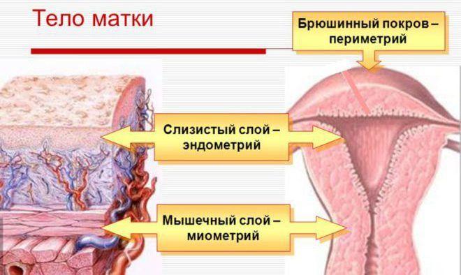 Три слоя тела матки