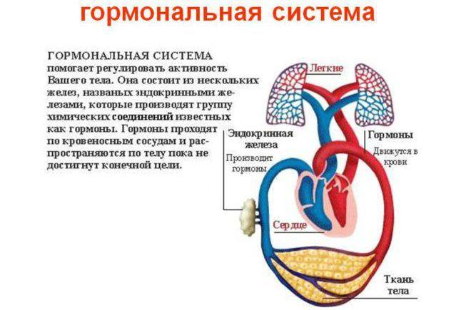 Гормональная система