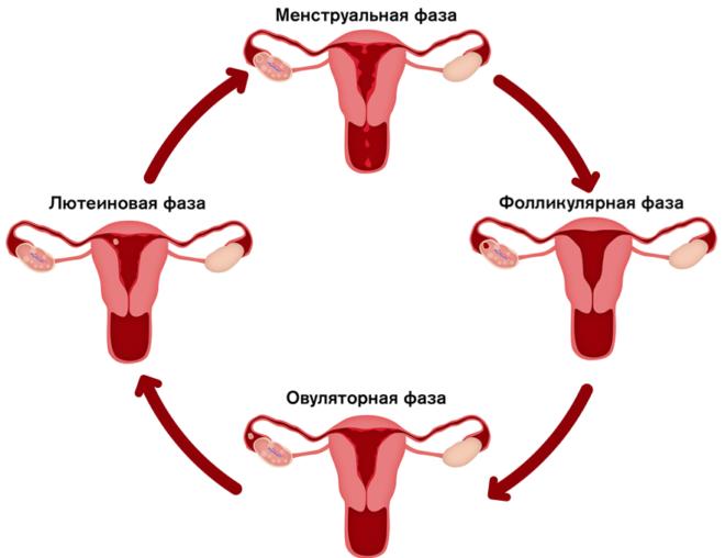 Цикл гормонов у женщин 7