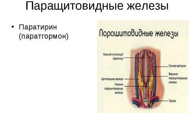 Паратрин