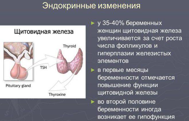 Щитовидка у беременной