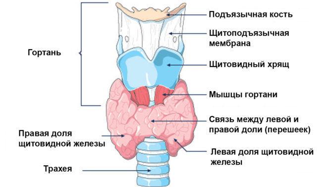 Строение и расположение щитовидной железы