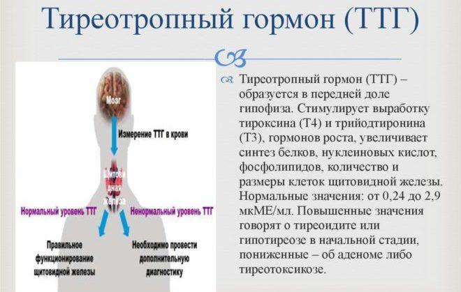 Тиреотропный гормон – ТТГ основная функция