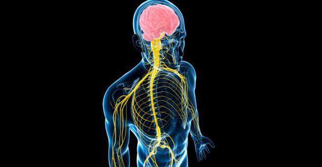 Зндокринная и нервная системы