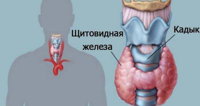 Эндокринные органы