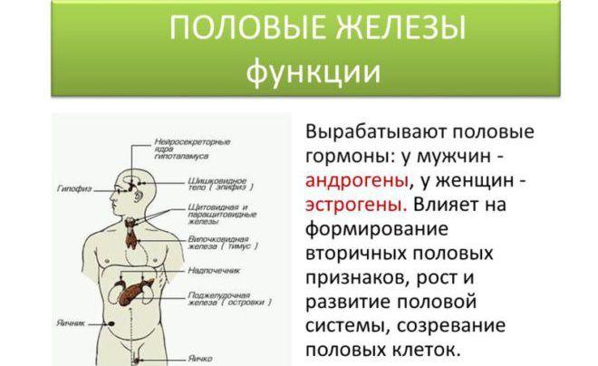 Функция андрогенов