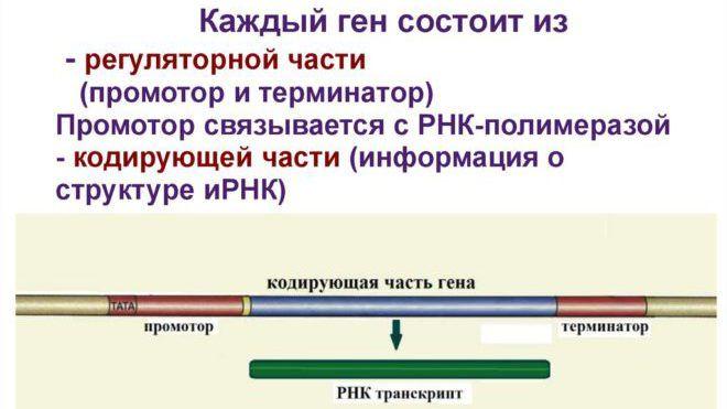Промотор гена к РП