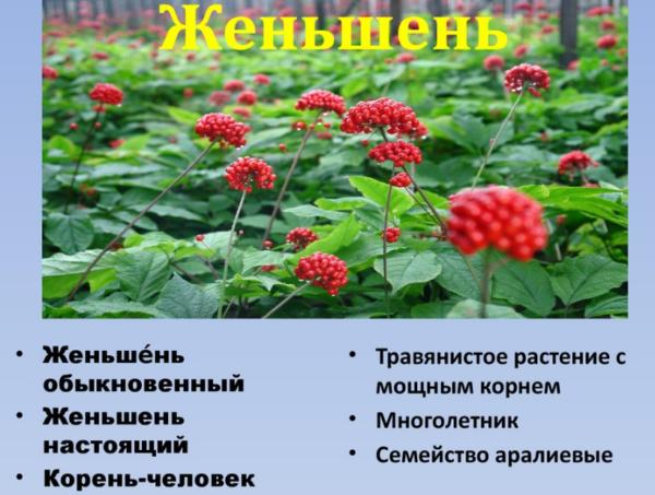 Женьшень, полезное растение