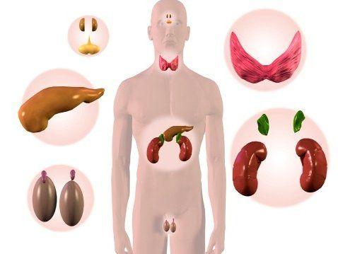 железы-внутренней-секреции-человека