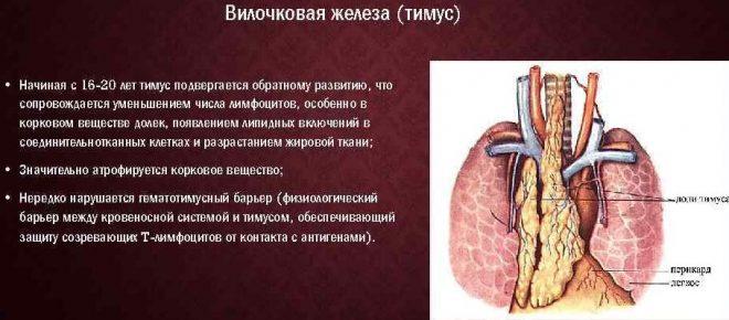 Вилочковая железа у взрослых