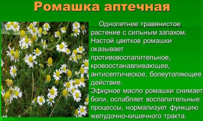 Настой цветков ромашки аптечной